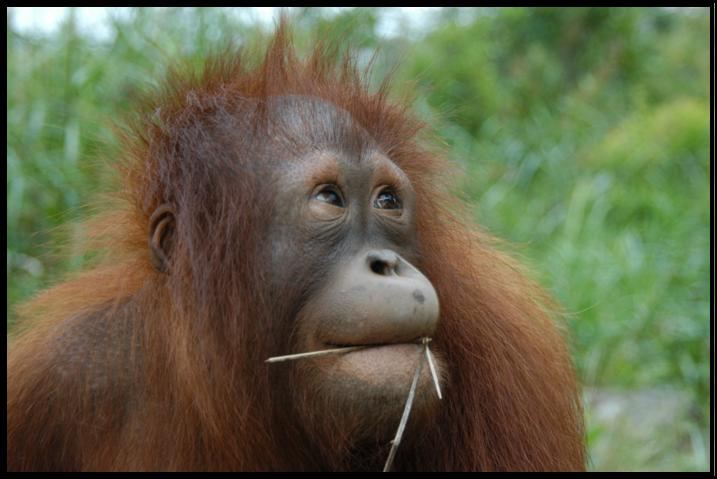 Toward Tomorrow with the Orangutan Conservancy